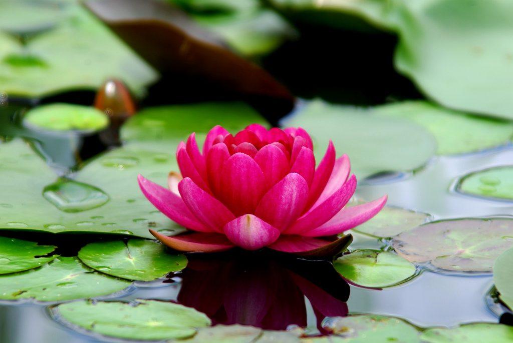Лотос, водна лилия
