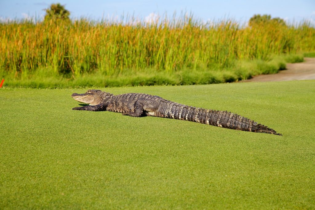 Крокодил лежи на трева, агресия